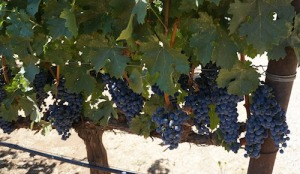 Cabernet Grapes on Pritchrd Hill